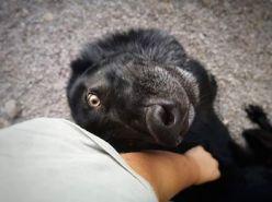 chien-loup américain câlin