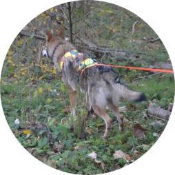 chien-loup tchécoslovaque mantrailing olfaction flair recherche