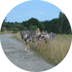 chien-loup liberté rappel jeu congénères
