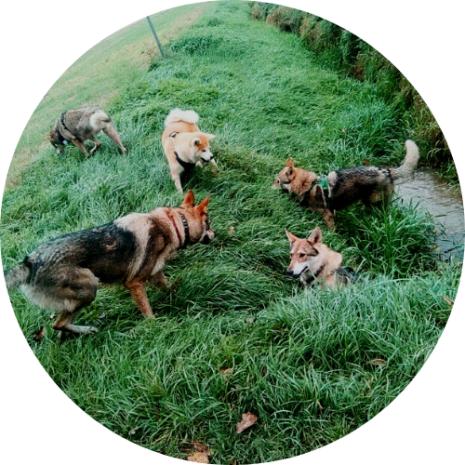 balade canine chien-loup akita