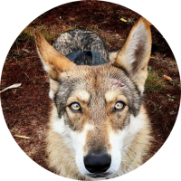 chien-loup de Saarloos haut-rhin