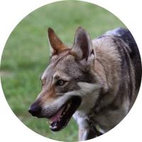 chien-loup tchécoslovaque dog